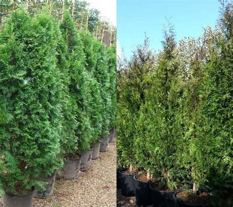 fast growing evergreen trees thuya plicata evergreen hedging buy online uk