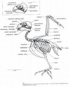 Bird Leg