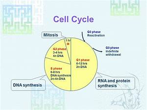 Phases of protein synthesis