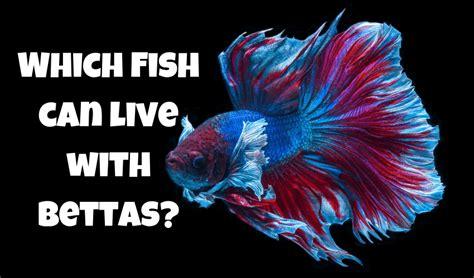 fish    bettas   examples