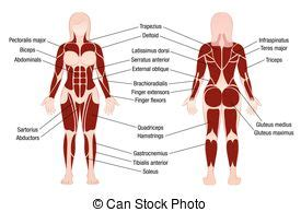 Major muscles of the body, with their common names and scientific (latin) names your job is to diagram and label the major. Muscles german names chart muscular male body. Muscle chart with german description of the most ...