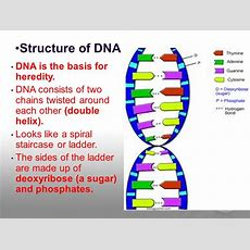 Dna Structure And Cell Cycle  Ppt Video Online Download