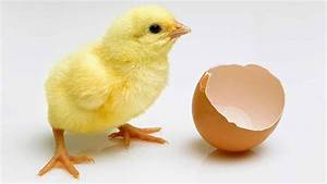 Commercial poultry embryo sexing next year, researchers ...  Chick