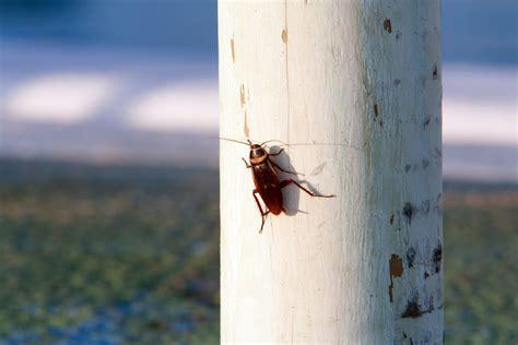 palmetto bug american cockroaches  german