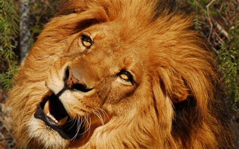 hollywood animals trained african lions lionesses