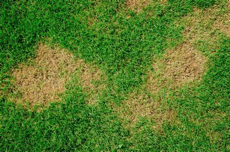 lawn grass brown patch fungus disease treat treatment yellow rust rid patches signs fertilizer burn cures causes fertilized care dead