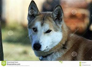 Siberian Hunting Dog Laika, Irkutsk Region Stock Photo ...