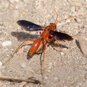 Arkansas Red Spider Wasp