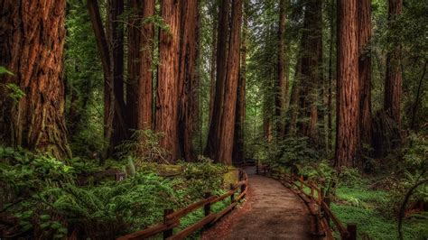 #woodland #redwoods national park forest path mill valley