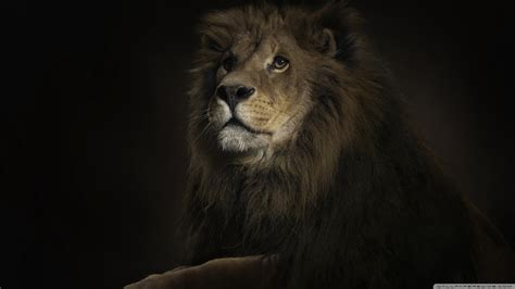 Lion King 4k Hd Desktop Wallpaper For 4k Ultra Hd Tv