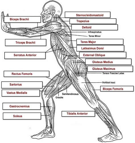 Human Body Muscle Diagram Worksheet Defenderautoinfo