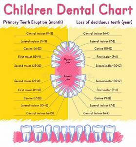Deciduous Teeth Eruption Chart Children Teeth Anatomy Stock Vector Illustration Of