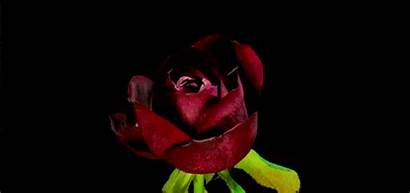 Rose Opening Blooming Flowers Animated Watching Never