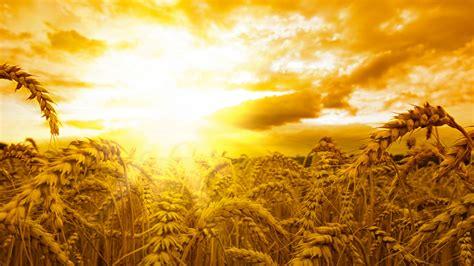Wallpaper Ears, 5k, 4k Wallpaper, Wheat, Sun, Sky, Yellow