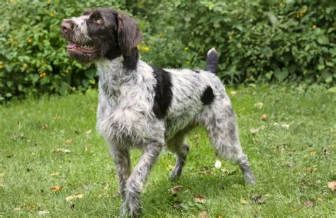 german wirehaired pointer personality history and