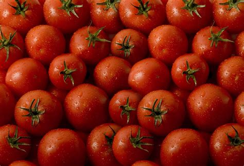 cultivation of tomatoes india supports project on tomato cultivation ghana live tv