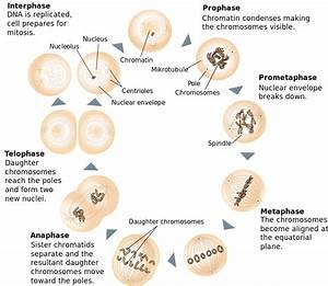 Difference Between Mitosis And Meiosis  U2013 Pediaa Com
