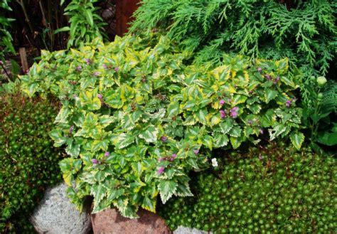 lamium greenaway lamium anne greenaway www ogrodowo eu