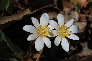Bloodroot  Benefits  Side Effects  And Preparations