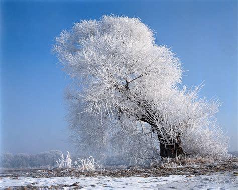 1280x1024 beautiful white tree desktop pc and mac wallpaper