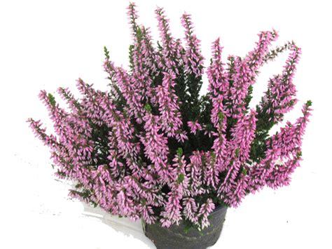 calluna vulgaris besenheide heidekraut rosa  cm topf