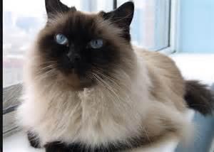 himalayan cats 50 beautiful himalayan cat pictures and images