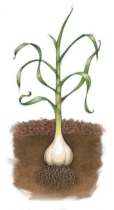 Growing Garlic   Tractor Supply Co.