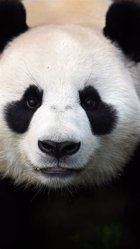 wallpaper shina panda bears china animal zoo black