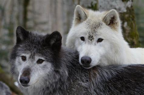 la maison des loups la maison des loups orlu 2017 ce qu il faut savoir pour votre visite tripadvisor