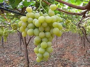 L'uso dei fitoregolatori nell'uva da tavola AgroNotizie Vivaismo e sementi
