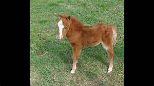 baby, miniature, horse, for, sale, -, dent, red, sarita