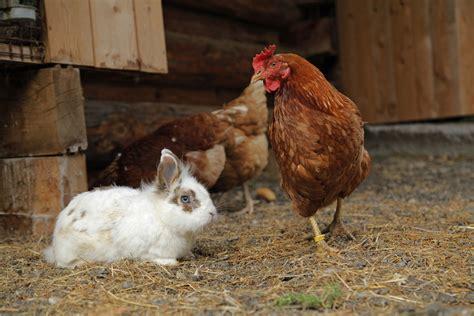 galline da cortile galline nel pollaio con altri animali domestici si pu 242
