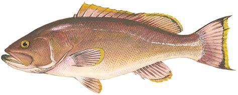 grouper yellowedge regulations species safmc grunt