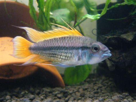 poisson africain aquarium eau douce poisson d eau douce l apistogramma cacatuoides petit cichlid 233 flamboyant animogen