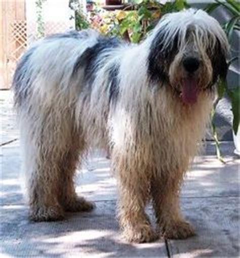 carpathian sheepdog carpathian shepherd dog info