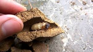 Another kind of Termite Queen - YouTube