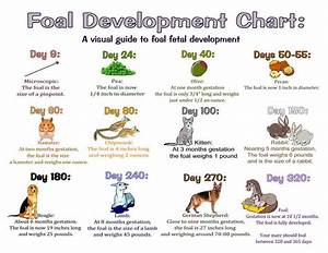Foal Development Chart  See What U0026 39 S Happening Inside Your