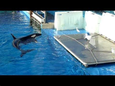 Orca Whale Attacks Fishing Boat In Alaska by Penguin Escapes Killer Whale By Jumping In Boat Doovi