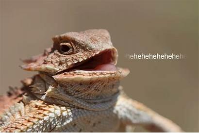 Hehehehe Lizard Laughing Gifs Hehehe Frog Laugh