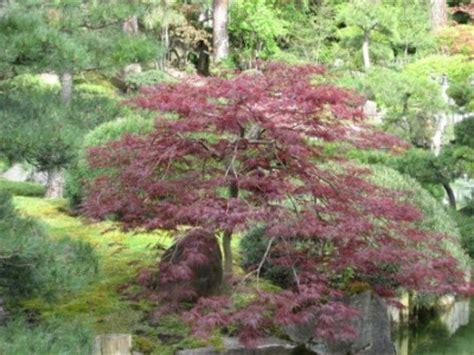 japanese maple species the world 180 s tree species japanese maple acer palmatum