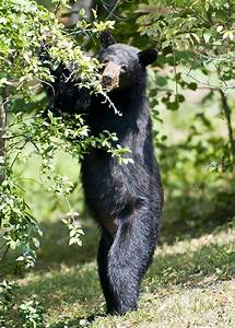 Black Bear Sighting