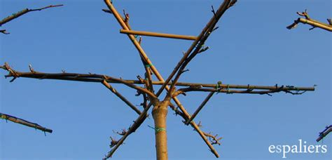 arbres en forme de parasol produits leiboomkwekerij espaliers