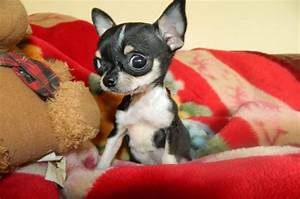 Teacup Chihuahua - 8 Facts About This Dog » Teacupdogdaily