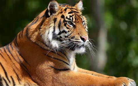 tiger windows  theme themepackme