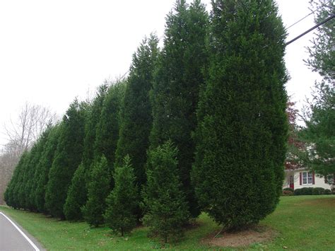 trees for privacy leyland cypress for fast growing evergreen privacy what grows there hugh conlon