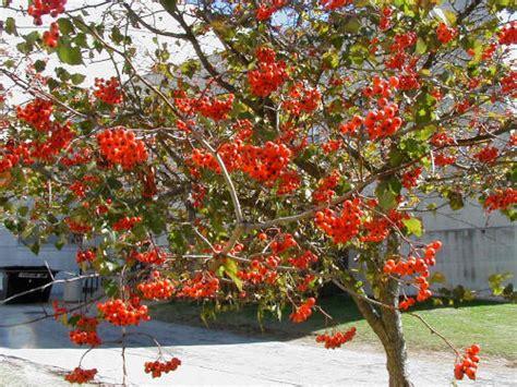 washington hawthorn washington hawthorn