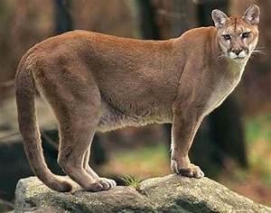 Bobcat Vs Mountain Lion | www.pixshark.com - Images ...