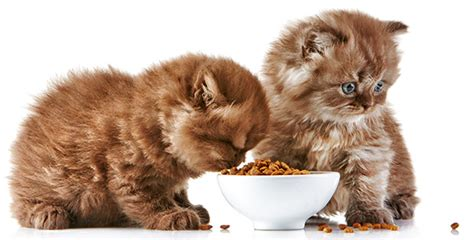 what can cats eat pet food prodiet and probalance big box singapore