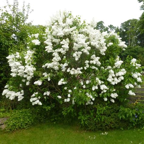 white flowering lilac trees  sale irelands