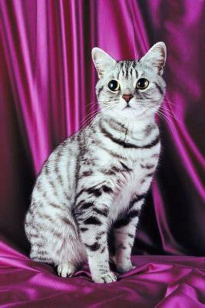information  silver tabby american shorthair cats pets